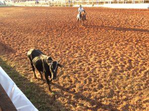 Animal laçado passando pela linha dos 100 metros