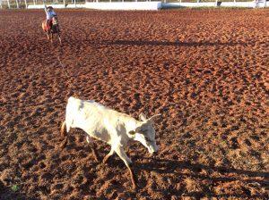 Animais não recebem trancos após a laçada - Foto Eugênio José